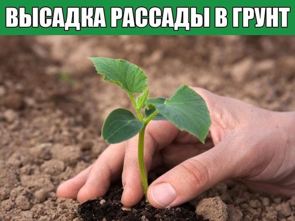 ВЫСАДКА РАССАДЫ В ГРУНТ - О ЧЕМ ДОЛЖЕН ЗНАТЬ КАЖДЫЙ.