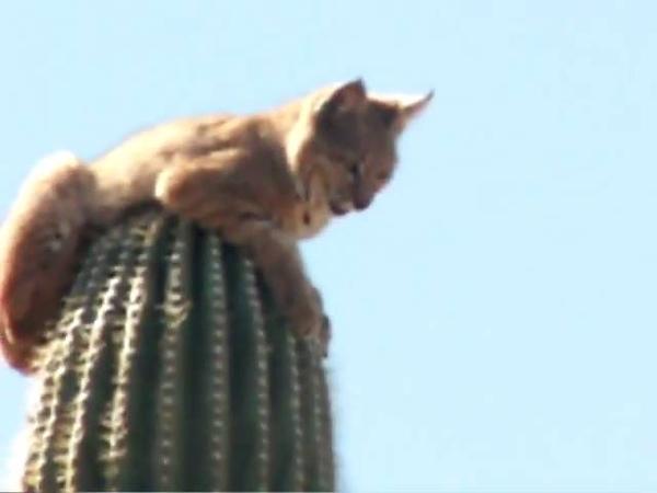 Bobcat atop Saguaro Cactus in Gold Canyon AZ