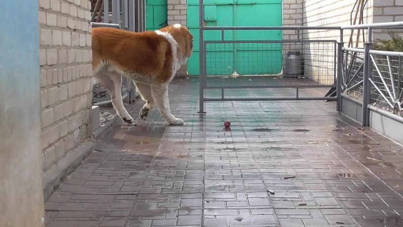 Акме Рич Зор ( Урал Тау Гвидон Царь Х Гайна) 3 года. Вязка, щенки.