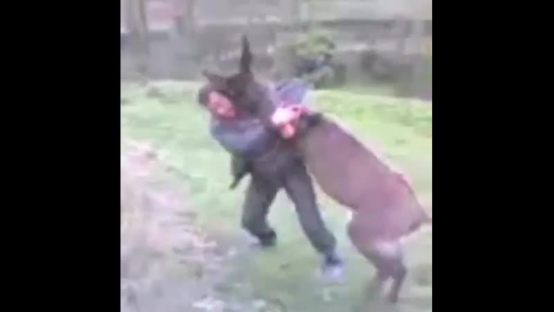 Чупакабра напала на джигита Джигит обезвредил чупакабру