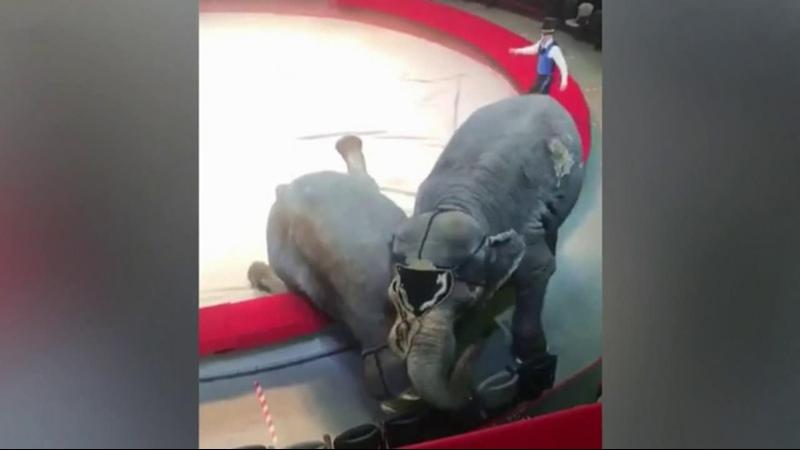 В казанском цирке во время выступления одна слониха неожиданно напала на другую