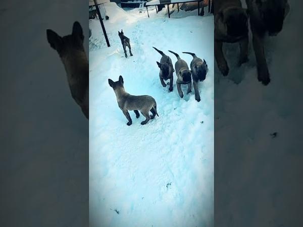 Предлагаются к продаже щенки бельгийской овчарки Малинуа д р 28 10 20203 девочки и 4 мальчик
