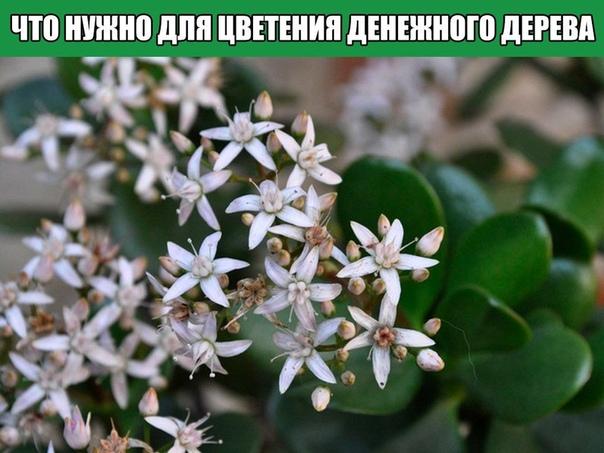 Что нужно для цветения денежного дерева
