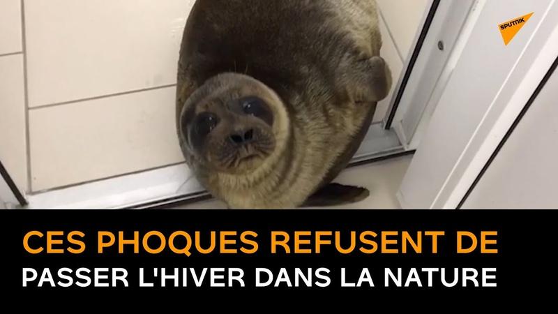 Ces phoques refusent de passer lhiver dans la nature