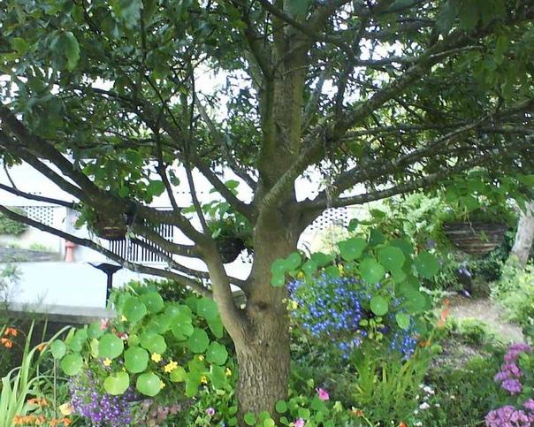 Виды растений, благоприятно растущие под кроной яблони Что никогда нельзя высаживать Почти всегда, взрослая яблоня, дающая большой урожай плодов, своей кроной занимает огромную территорию