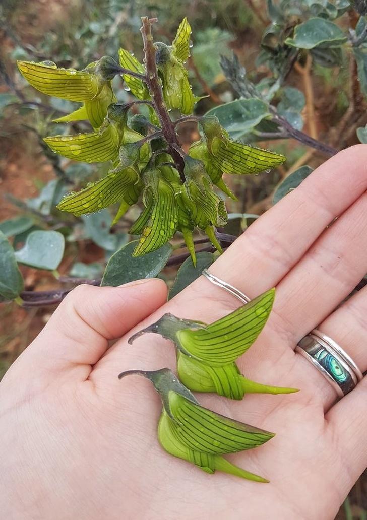 Цветки этого растения выглядят как колибри