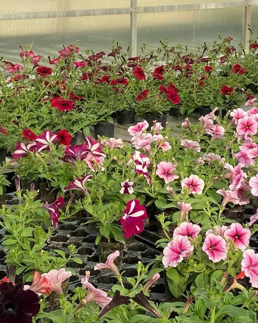 Петровчанин Вадим КУДРЯШОВ передал для высадки на цветниках города более тысячи ампельных петуний
