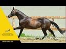 Akhal-teke stallion Rapid